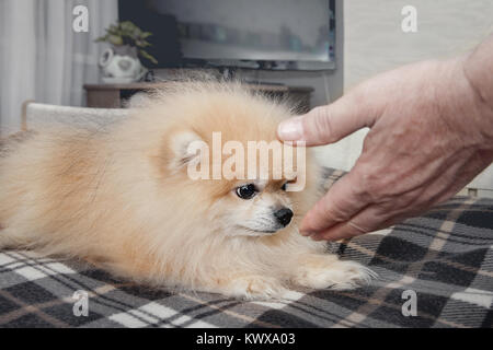 Little white dog sniffing a hand looking brown eyes on the person who tries to pet him. A horizontal frame. - Stock Photo