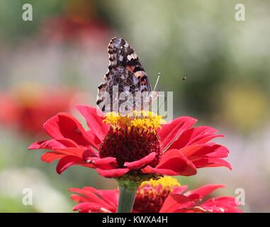 A beautiful painted lady resting and gathering nectar on a red zinnia - Stock Photo