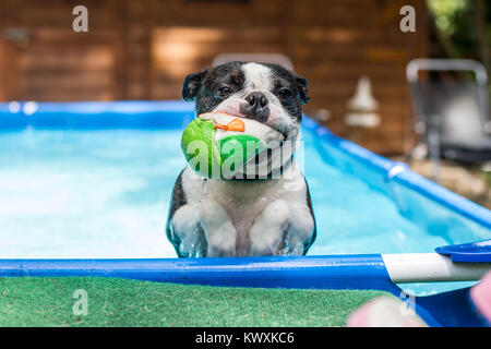 Boston Terrier swimming in the pool and fetching a ball - Stock Photo