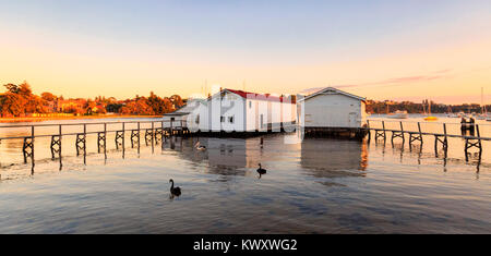Two black swans (Cygnus atratus) on the Swan River beside the boatsheds at Freshwater Bay. - Stock Photo