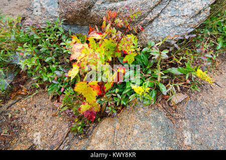Small leaves and ground brush growing from cracks in the rocks turning red for the fall season. Acadia National - Stock Photo