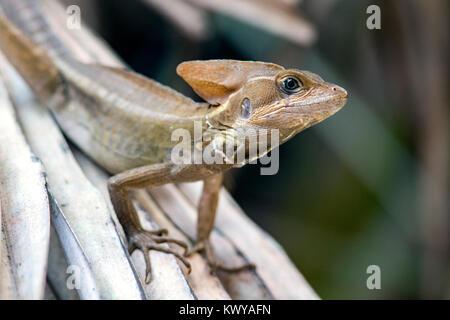 Basilisk Lizard - Green Cay Wetlands, Boynton Beach, Florida, USA - Stock Photo