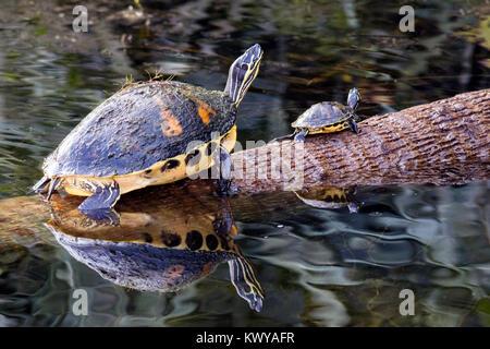 Florida Red-bellied Turtles - Green Cay Wetlands, Boynton Beach, Florida, USA - Stock Photo