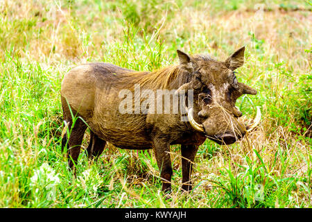 Warthog in Kruger National Park in South Africa - Stock Photo