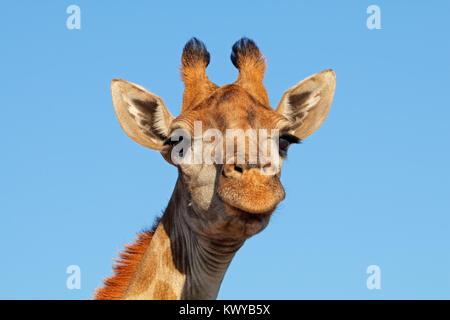 Portrait of a giraffe (Giraffa camelopardalis) against a blue sky, South Africa - Stock Photo