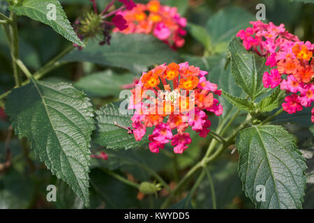Lantana camara. It is a species of flowering plant in the verbena family. And it is also known as big-sage, wild - Stock Photo