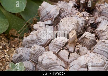 Dioscorea elephantipes , also known as elephant's foot, Testudinaria elephantipes or Hottentot bread. - Stock Photo