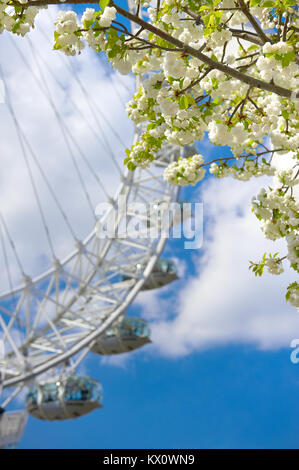 LONDON, ENGLAND - APRIL 30, 2013: White sakura blossoms in front of London Eye, large ferris wheel in London, UK - Stock Photo