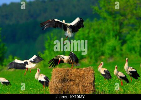 Poland, Biebrzanski National Park – group of White Storks feeding on wetlands – latin: Ciconia ciconia - Stock Photo