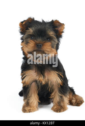 Small and cute puppy of the Yorkshire Terrier isolated on white - Stock Photo