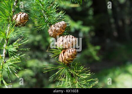 Sprig of European Larch, Larix decidua with mature pine cones on blurred background and copy space on the right. - Stock Photo