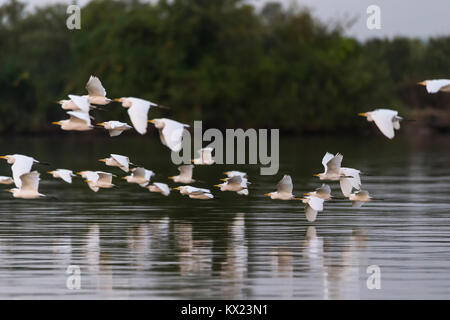 Cattle egret Bubulcus ibis, flock, heading to roost along the Gambia River, Georgetown, The Gambia in November. - Stock Photo