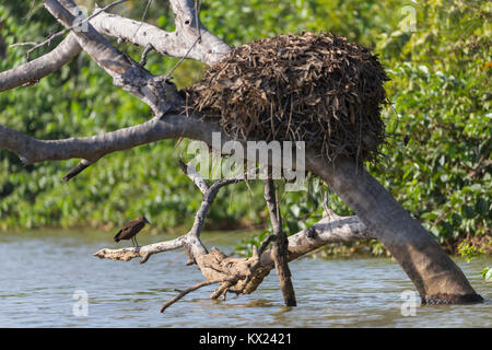 Hamerkop Scopus umbretta, adult, standing on submerged tree alongside nest site, Gambia River, Georgetown, The Gambia - Stock Photo