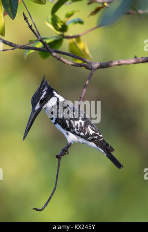 Pied kingfisher Ceryle rudis, adult, perched in mangroves, Kotu Bridge, The Gambia in November. - Stock Photo