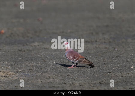 Speckled pigeon Columba guinea, adult, standing on sandy ground, Hotel Palm Beach, The Gambia in November. - Stock Photo