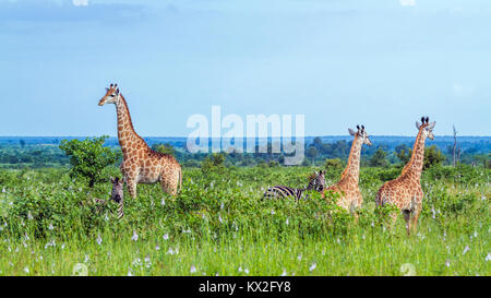 Giraffe in Kruger national park, South Africa ; Specie Giraffa camelopardalis family of Giraffidae - Stock Photo