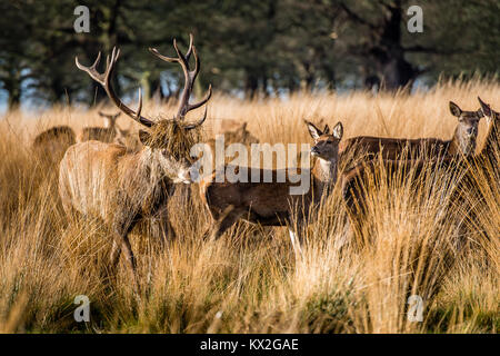 A large stag with grass in his antlers to make himself attractive to the females in the herd - Stock Photo