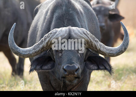 Cape buffalo - Stock Photo