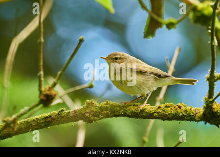 Willow Warbler, Phylloscopus trochilus, in Elder, Sambucus nigra, West Lothian, Scotland, UK - Stock Photo