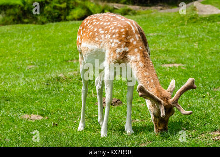 Young Fallow Deer Grazing on the Grassy Lower Slopes of the Little Matlock Area, Bradgate Park, Newton Linford, - Stock Photo