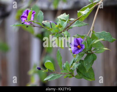 Delicate purple flower, backlit, on a creeper vine over a wooden fence. - Stock Photo