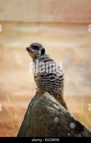 watchful meerkat sitting on a rock - Stock Photo