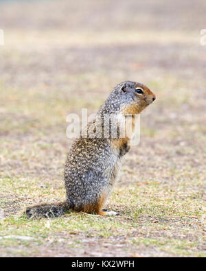 Columbian ground squirrel (Urocitellus columbianus) in Banff National Park - Stock Photo