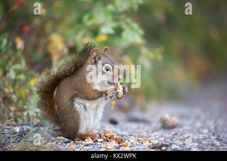 Red Squirrel (Tamiasciurus hudsonicus) eating spruce cone in  in Banff National Park - Stock Photo