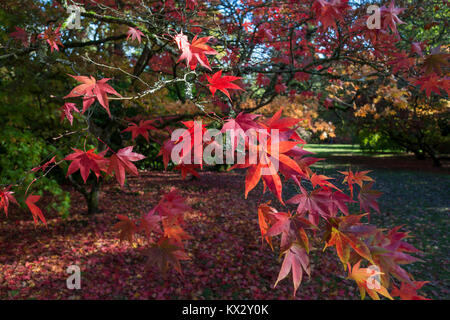 Japanese Acers in Autumn - Stock Photo