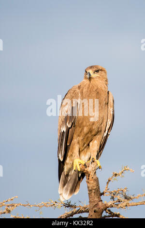 A Tawny Eagle perched on top ogf a dead tree, looking and hunting, Valley camp Mara Naboisho conservancy Kenya Africa - Stock Photo