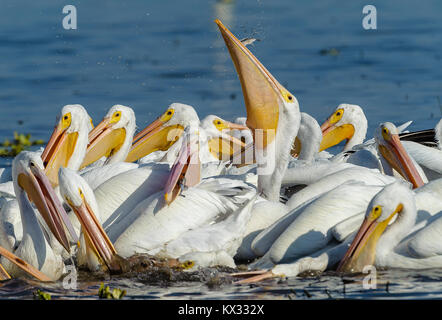 Group of American white pelicans (Pelecanus erythrorhynchos) feeding on fish, Lake Chapala, Jalisco, Mexico - Stock Photo