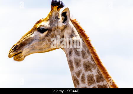 Close Up of a Giraffe Head in central Kruger National Park in South Africa - Stock Photo