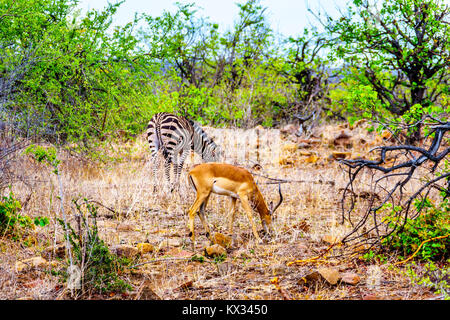 Zebra and Impala grazing in the drought stricken savanna area of central Kruger Park in South Africa - Stock Photo