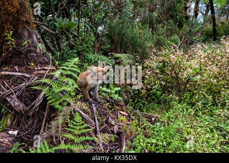 Srilankan toque macaque or Macaca sinica in jungle - Stock Photo
