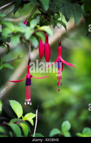 Hanging Fuchsia: Two red and purple flowers of wild fuchsia stamens hanging low growing on a garden - Stock Photo