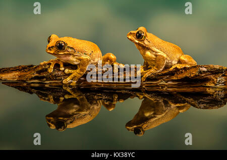 A macro image of two peacock tree frogs on a branch ,reflected in a pool of water - Stock Photo