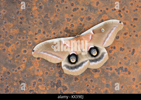 Polyphemus Moth in startle display mode on rusted old sawmill blade abandoned in forest. Dauphin County, Pennsylvania, - Stock Photo
