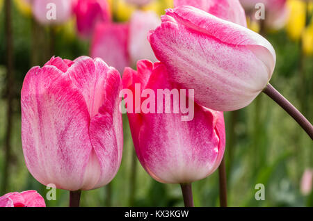 Pink tulip flowers in full bloom at a tulip farm - Stock Photo