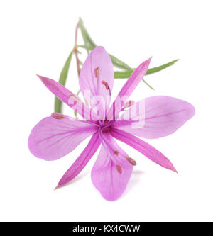 Pink Alpine willowherb flower isolated on white - Stock Photo