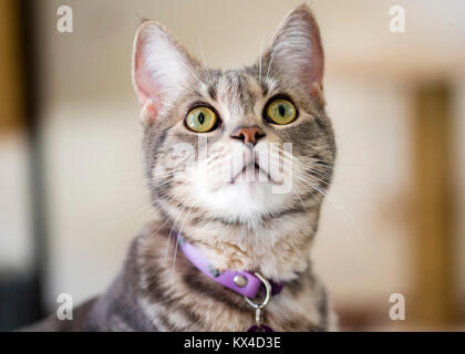 Gray striped cat closeup portrait. Grey tabby cat with green eyes looks up. - Stock Photo