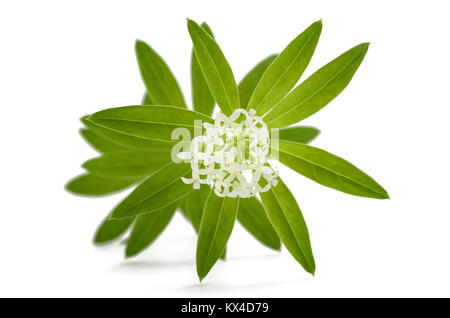 Fresh sweet woodruff with flowers isolated on white background - Stock Photo