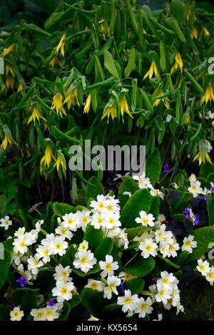 Uvularia grandiflora,primula vulgaris,Viola odorata large-flowered bellwort,merrybells,yellow,flower,flowers,flowering,spring,shade,shady,shaded,wood, - Stock Photo
