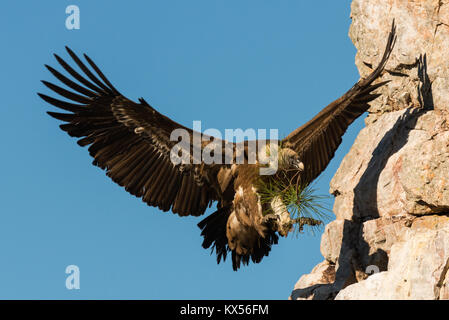 flying Griffon vulture Gyps fulvus in Extremadura Spain Monfrague National Parc - Stock Photo