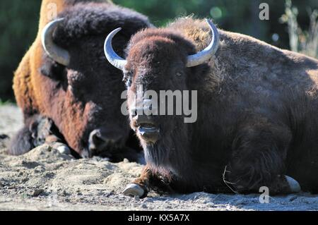 A young American bison or buffalo (Bison bison) among a small herd at Brookfield Zoo near Chicago. Brookfield, Illinois, - Stock Photo