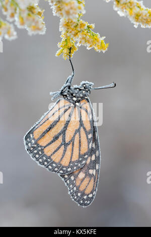 Late season Monarch butterfly gets covered with frost on Tall Goldenrod (Solidago altissima).  Reed Run Nature Preserve, - Stock Photo