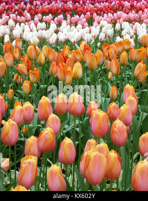 Blooming Colorful Two-Tone Tulip Flowers Field in Keukenhof, The Netherlands - Stock Photo