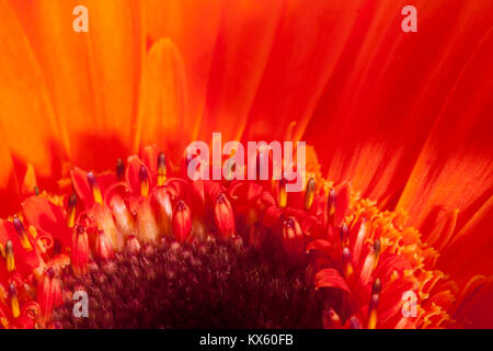 Red gerbera macro shot for background use - Stock Photo
