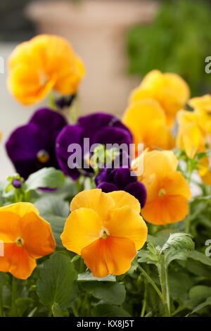 yellow and purple pansies in the garden close-up - Stock Photo