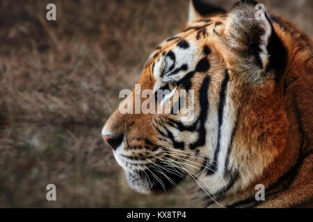 Tiger, portrait of a tiger - Stock Photo