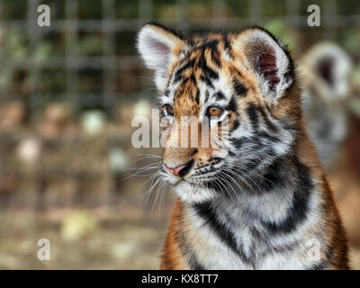tiger cub in the grass - Stock Photo